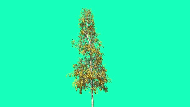 European Aspen Chromakey Thin Tree Chroma Key Alfa Alfa Channel Swaying Tree Wind Branches Leaves Studio Fall Green Screen Computer Generated Animation