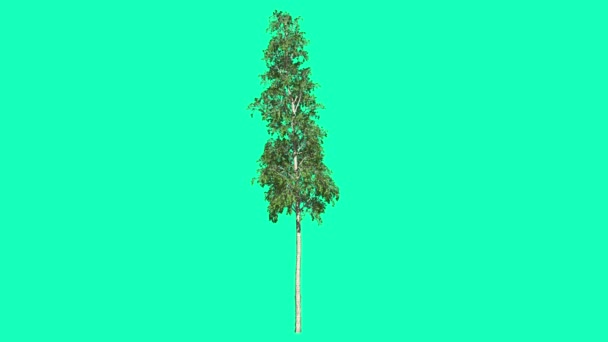 European Aspen Chromakey Thin Tree Chroma Key Alfa Alfa Channel Swaying Tree Wind Branches Leaves Studio Green Screen Computer Generated Animation