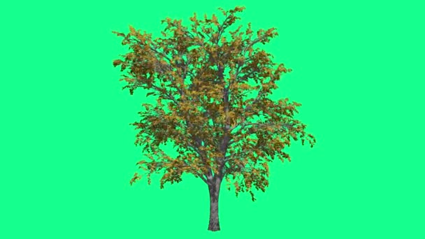European Linden Chromakey Tree Chroma Key Alfa Alfa Channel Swaying Tree Wind Branches Leaves Fall Studio Green Screen Computer Generated Animation