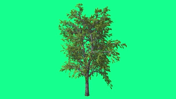 European Linden Chromakey Tree Chroma Key Alfa Alfa Channel Swaying Tree Wind Branches Leaves Studio Green Screen Computer Generated Animation