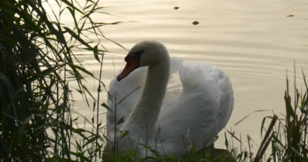 White Swan Close Up Bird is Floating at The Lake Sky Reflection in the Water Bird is Floating around and Swims Away Bird Among Green Reed