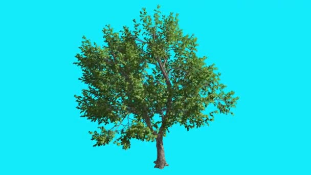 Green Ash Chromakey Isolated Tree Thin Trunk Fluttering Green Leaves Chroma Key Alfa Alfa Channel Blue Screen Summer Computer Generated Animation