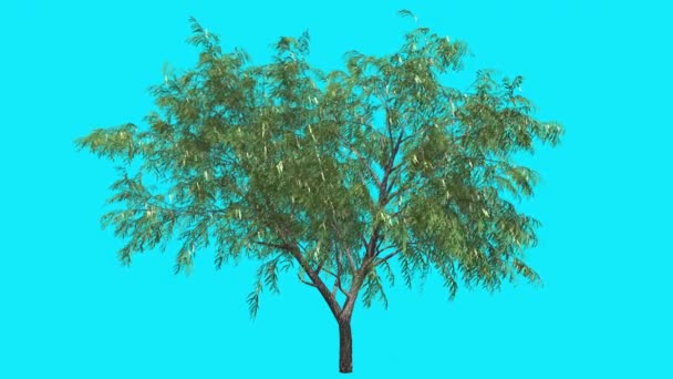 Honey Mesquite Chromakey Isolated Thin Tree Narrow Leaves Flowers Fluttering Green Leaves Chroma Key Alfa Alfa Channel Blue Screen Summer Animation