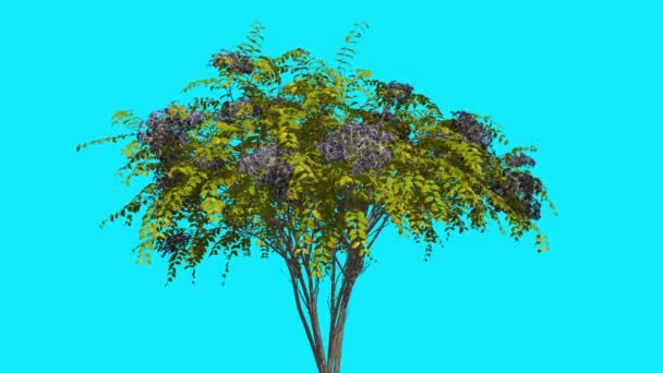 Japanese Angelica Chromakey Isolated Tree Bush Blue Inflorescences Flowers Fluttering Green Leaves Chroma Key Alfa Alfa Channel Blue Screen Animation