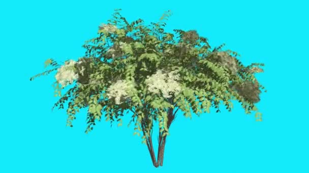 Japanese Angelica Chromakey Isolated Tree Bush White Inflorescences Flowers Fluttering Green Leaves Chroma Key Alfa Alfa Channel Blue Screen Animation