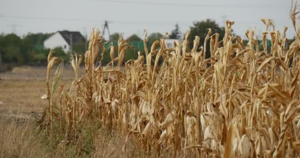 Pole kukuřičné kukuřice stonky se kymáceli ve větru malé Residentské domy na pozadí elektrické dráty pilíře stromy křoviska letní podzim