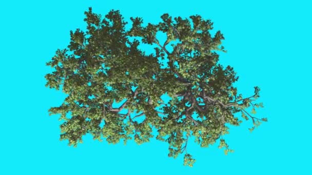 Japanese Maple Crown Top Down Swaying Tree on Chroma Key Tree on Blue Screen Branches with Leaves are Swaying at the Wind Computer Generated Animation