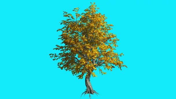 Katsura Chroma Key fa kék képernyő Root ágak sárga levelek ősszel imbolygott fa a szél számítógép generált animáció Swaying