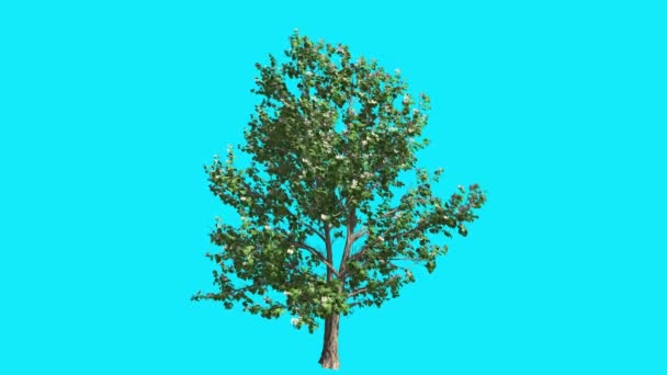 Korean Stewartia in Spring Swaying Tree on Chroma Key Tree on Blue Screen Branches with Leaves are Swaying at the Wind Computer Generated Animation
