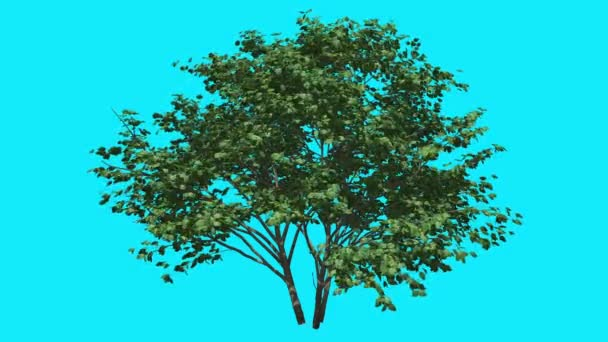 Kousa Dogwood Swaying Thin Tree on Chroma Key Tree on Blue Screen Branches with Green Leaves are Swaying at the Wind Computer Generated Animation