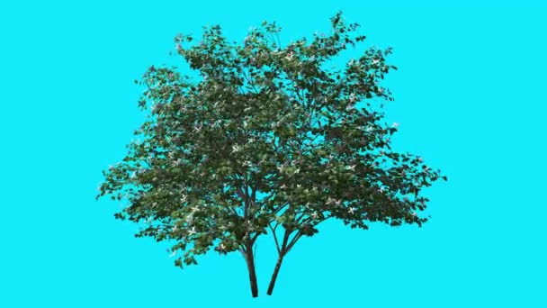 Kousa Dogwood Swaying Tree with Flowers on Chroma Key Tree on Blue Screen Branches with Leaves are Swaying at the Wind Computer Generated Animation