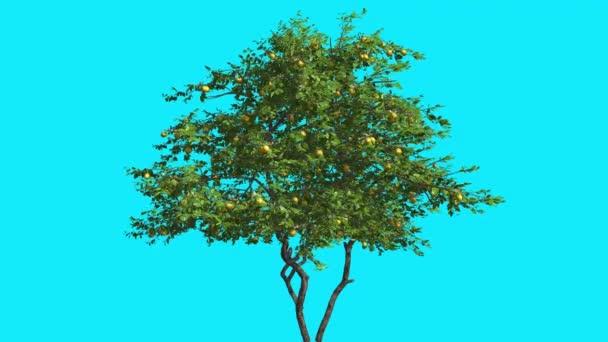 Fa, gyümölcs imbolygott vékony citromfa Chroma Key fa kék képernyő ágak, levelek Swaying a szél számítógép generált animáció