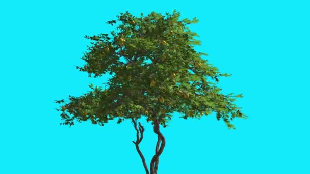 Lemon Tree With Fruits Swaying at the Strong Wind Thin Tree on Chroma Key Tree on Blue Screen Branches with Leaves are Swaying at the Wind Computer