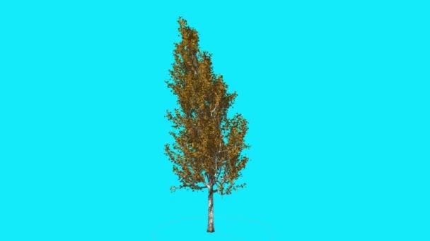 Lombardia imbolygott nyárfa a Chroma Key fa kék képernyő ágak sárga levelek a szél ősz generált sokhelyütt Swaying