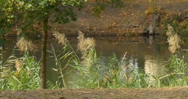 Green Reed is Swaying at the Wind Dry Stalks Rippling Water Thin Tree Sunny Day Fall Dry Leaves on a Ground Outdoors