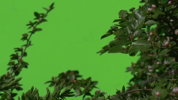 Green branch with unopened flower bud Green plants bushes grass leaves flowers branches of trees on chromakey green