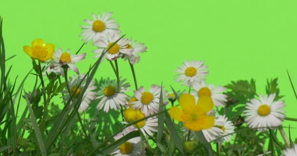Scrub with white daisies Green plants bushes grass leaves flowers branches of trees on chromakey green