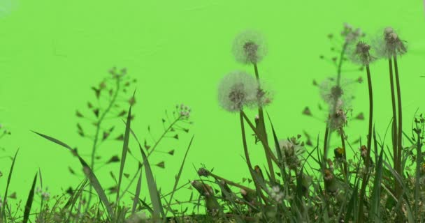 Scrub with white fluffy dandelions Green plants bushes grass leaves flowers branches of trees on chromakey green