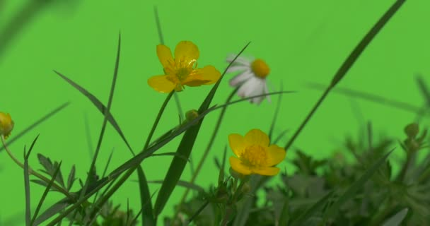 Small Yellow Daisy Flowers Green Plants Grass leaves flowers branches of trees on chromakey green