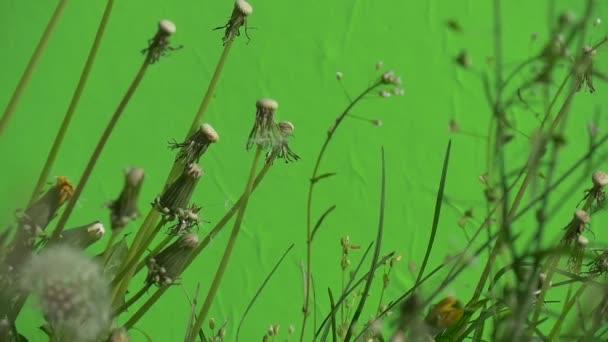 Hirtentäschel und Taraxacum, Löwenzahn, Pusteblume, Schuppen seine Blüten, Zeitlupe