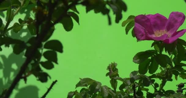 Bush fialové, purpurové květy, Rosa, vlnící se ve větru, Darkness