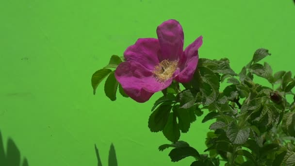 Lila, lila virág, Rosa, ág, méh, fényes zöld levelek, árnyék, lassú mozgás