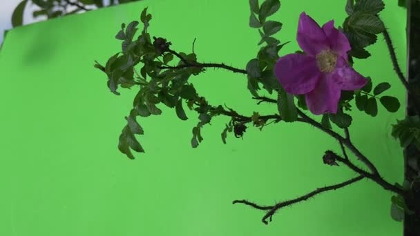Single Violet, Purple Flowers, Rosa on Bush Branch Closeup, Slow Motion