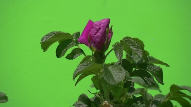 Single Branch with Violet, Purple Flower, Rosa, Swaying, Slow Motion