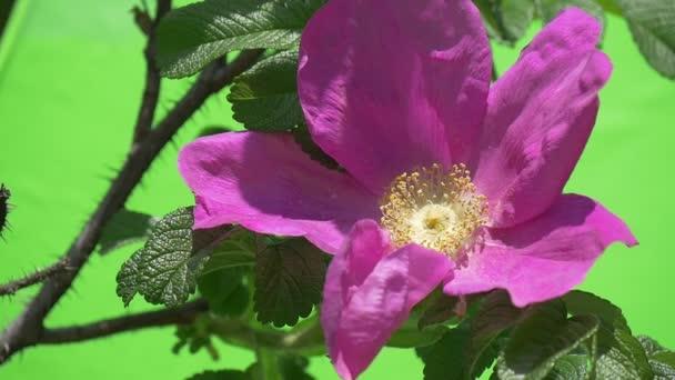 Violet Flower, Rose Closeup on The Bush, Slow Motion, Petals Are Fluttering