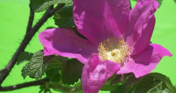 Violet Flower, Rose Closeup on The Bush, Real Time, Petals Are Fluttering