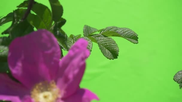 Violet Blurred Flower, Rose on The Bush, Slow Motion, Fluttering Petals