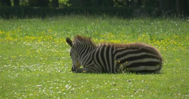 Zebra Is Lying on The Lawn, Closeup, Backside