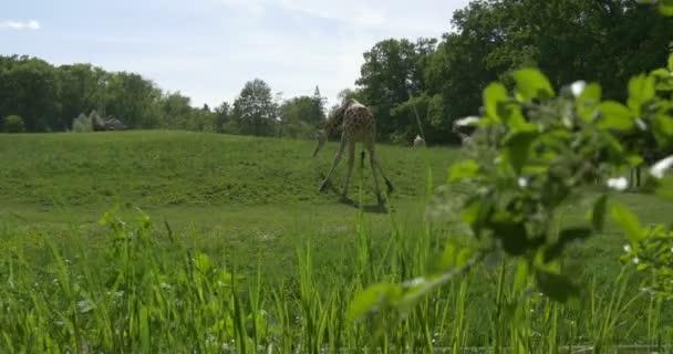 Giraffe Is Grazing, Nibbling the Grass, Walking Right