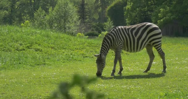 Grazing Zebra Is Going by Camera,Nibbling Grass
