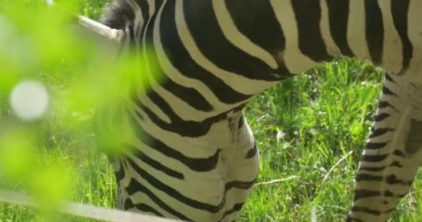 Zebra, Striped Neck Closeup, Grazing,Nibbling Grass