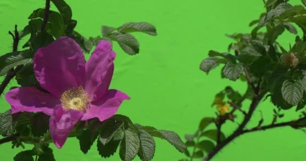 Bees Upon Violet Flower, Rose on The Bush