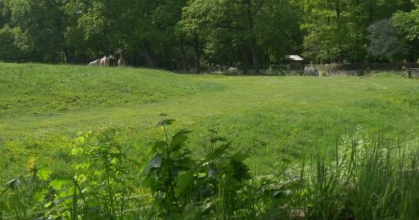 Gruppo di giraffe e zebre sono pascolano lontano