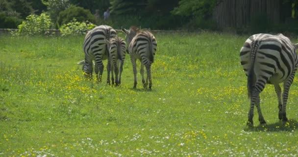 Négy zebrák át a réten, gyaloglás Rita képgalériája, legeltetés, emberek mennek