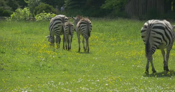 Four Zebras Through The Meadow, Walking Foreward, Grazing, People Are Going by