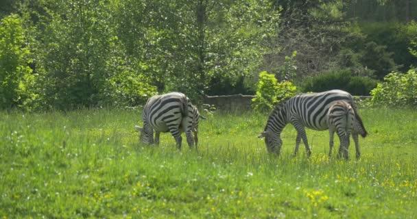 Čtyři zebry přes louku, pěší, pastva, okusování trávy