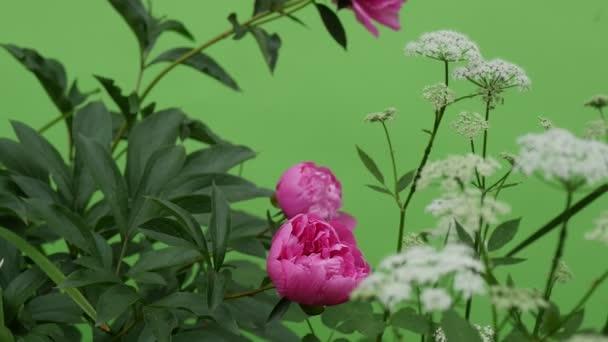 pink Peonies And Milfoils Wavering Flowers Brignt Green Background,Chromakey Chroma Key Alfa