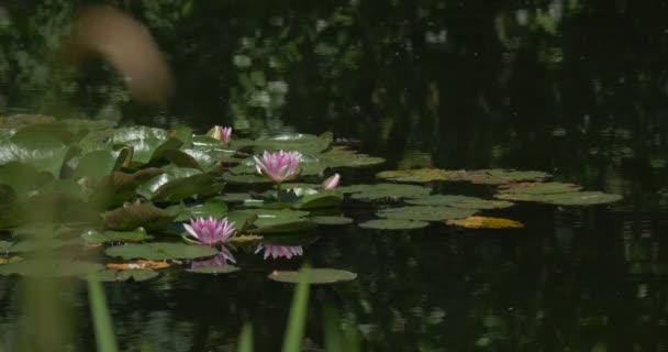 Ostrov Vodní lilie, růžový, fialový Blossomes