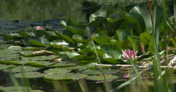 Rybník s lekníny, růžový květ, kruhové lesklé listy Closeup