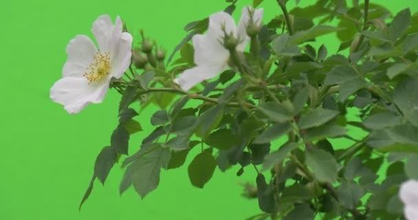 White flowers of rose bush closeup wind stock video zmei116 white flowers of rose bush closeup wind stock video mightylinksfo