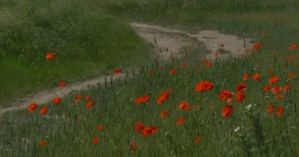 Piros Pipacsok Papaver, virágok, út, homokos poros út balra kanyarodik