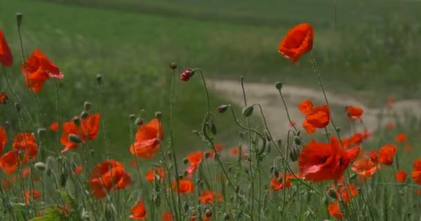 Červené Vlčí máky, mák, květiny, pole a stáže, silniční zatáčky vlevo