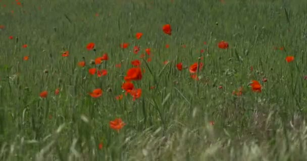 Red Poppies, Papaver, Blossoms, Field Grass, Ears