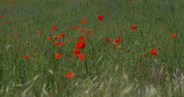 Červené Vlčí máky, mák, květy, pole trávy, uši