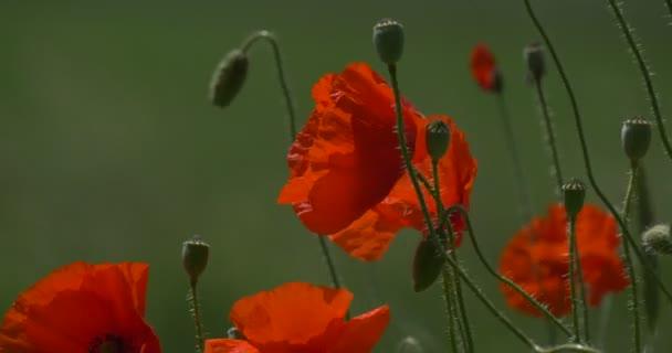 Červené Vlčí máky, mák, květiny, květy a poupata