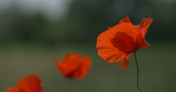 One Poppy, Papaver, Flower on the Stalk Closeup